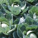 Got Cabbage?